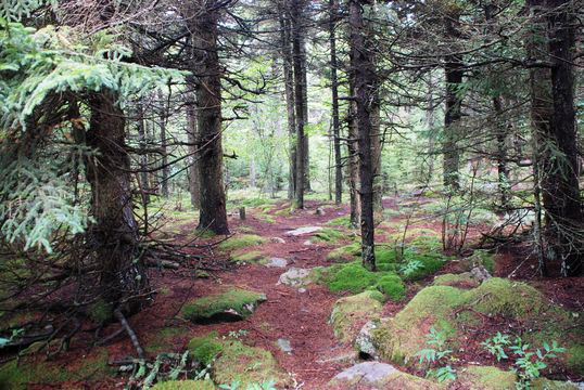 Spruce-Plants-growing-wild