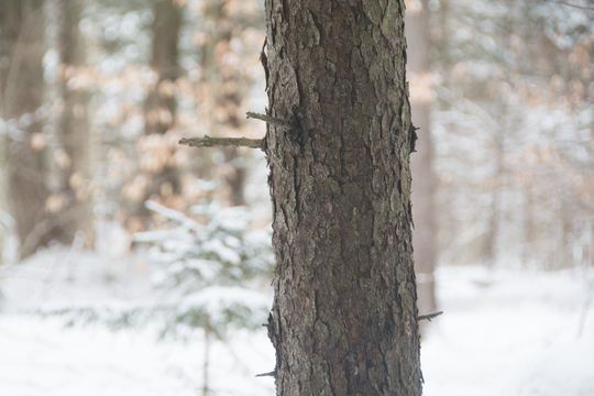 Trunk-of-Spruce-tree