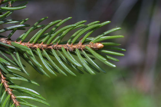 Twig-showing-attachment-of-needles