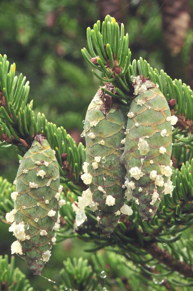 Unripe-fruits-of-Spruce