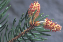Flowers-of-Spruce tree