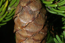 Mature-fruit-of-Spruce tree