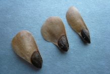 Seeds-of-Spruce tree