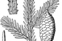 Sketch-of-Spruce tree