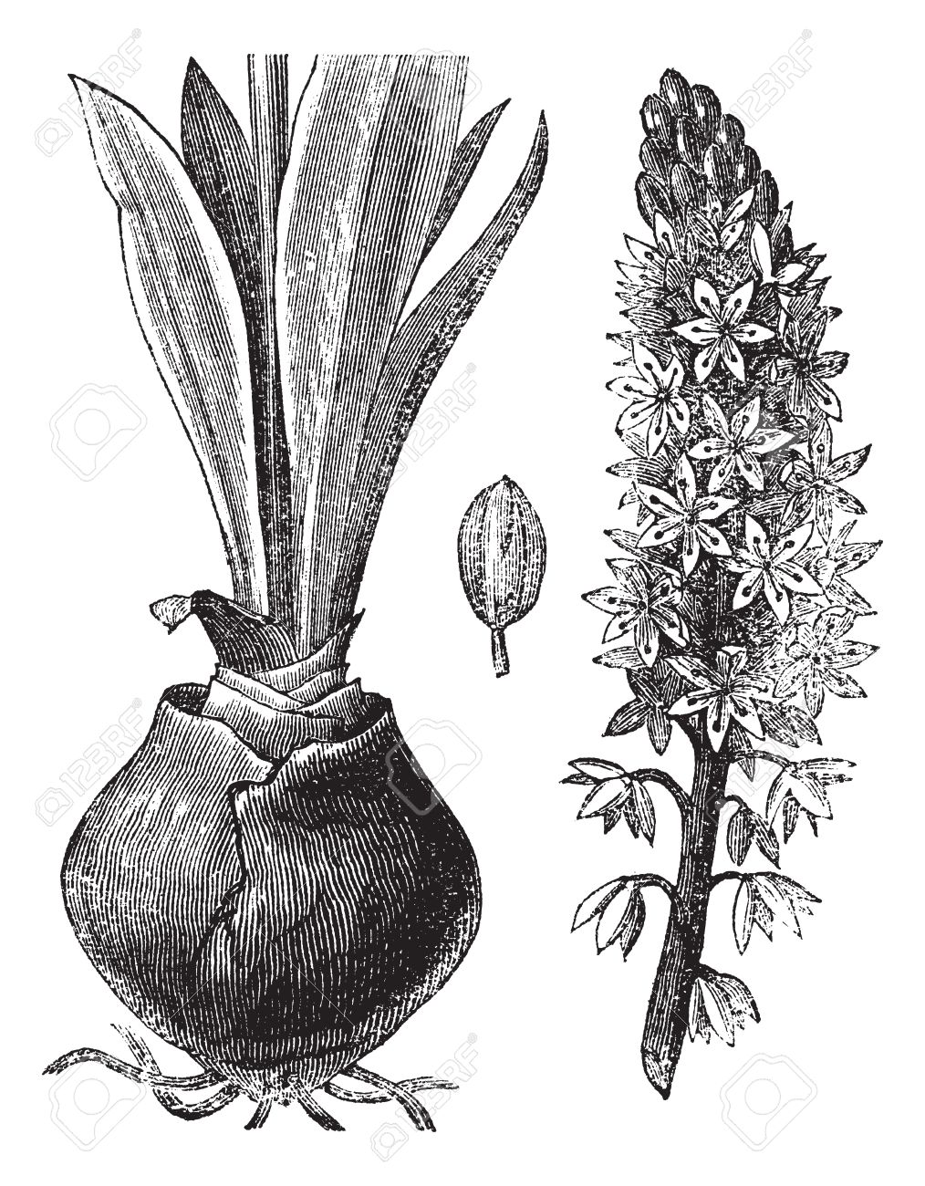 Sketch-of-Squill-plant