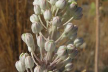 Buds-of-Squill-plant