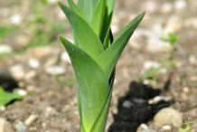 Small-Squill-plant