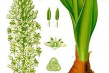 Squill-plant-Illustration
