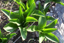 Leaves-of-Squill-plant