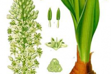 Squill-plant-Illustration