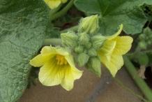Flower-buds