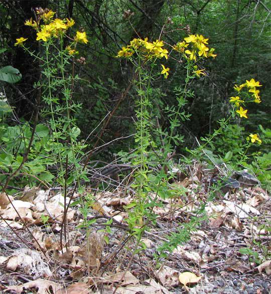 St.-John's-wort-plant-Tiptonweed