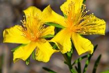St.-John's-wort-flower-Millepertuis