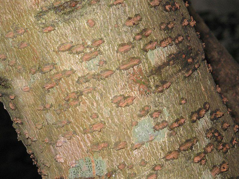 Bark-of-Star-gooseberry