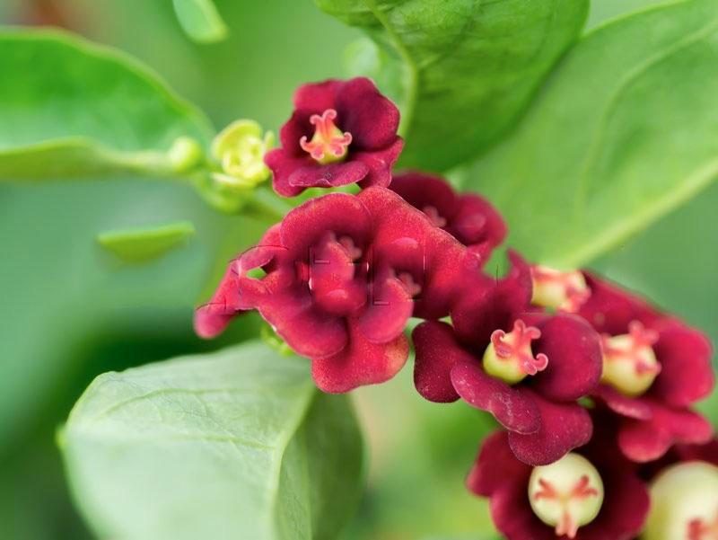 Flowers-of-Star-gooseberry