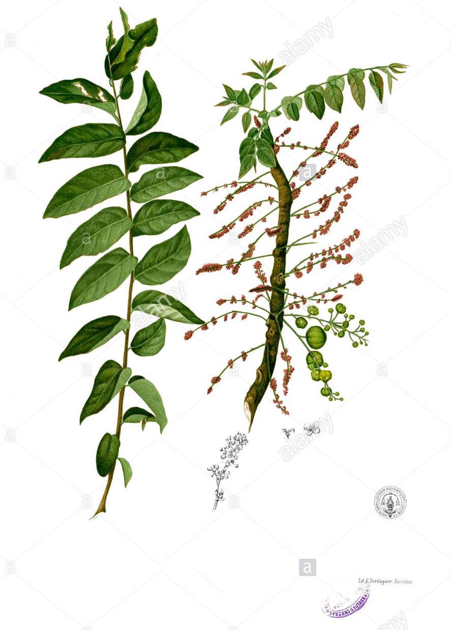 Plant-Illustration-of-Star-gooseberry