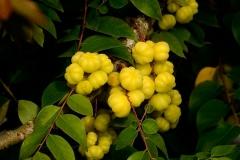 Fruits-of-Star-gooseberry