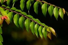 Leaves-of-Star-gooseberry