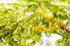 Star-gooseberry-tree
