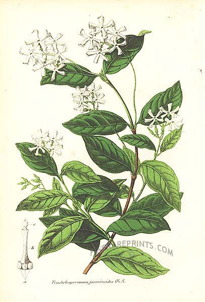 Plant-illustration-of-Star-Jasmine