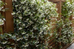 Star-Jasmine-plant