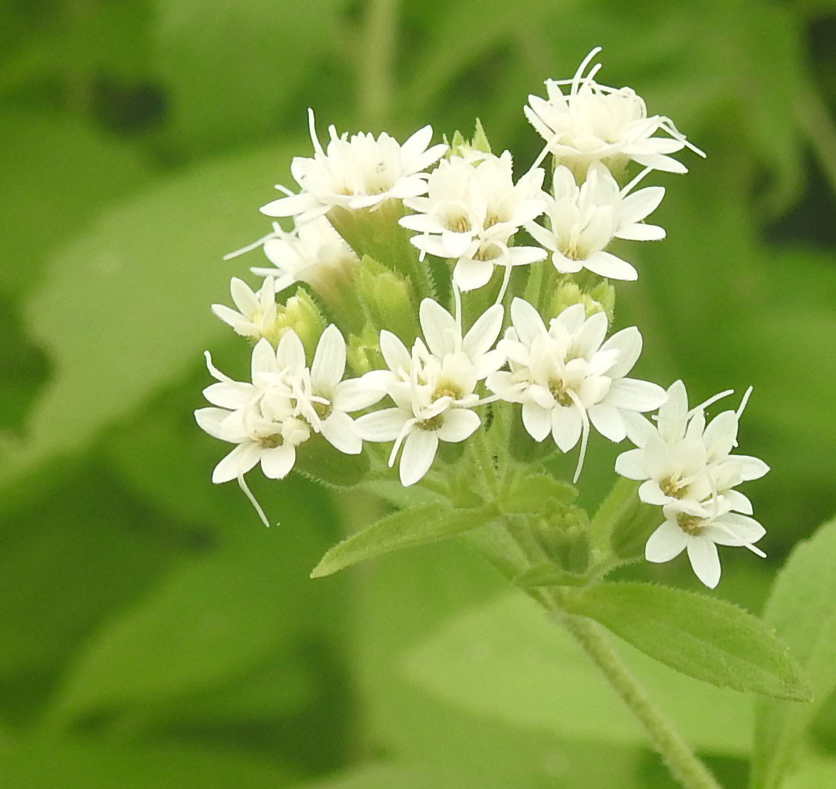 Close-view-of-Stevia-flowers