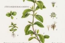 Illustration-of-Stevia