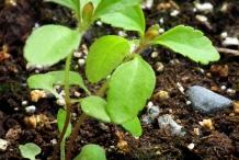 Stevia-seedlings