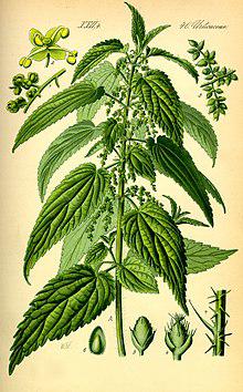 Stinging-Nettle-plant-Illustration