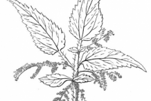 Stinging-Nettle-plant-Sketch