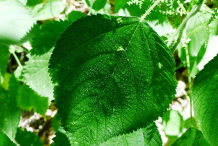 Stinging-nettle-leaves