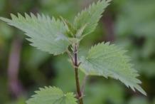 Leaves-of-Stinging-Nettle