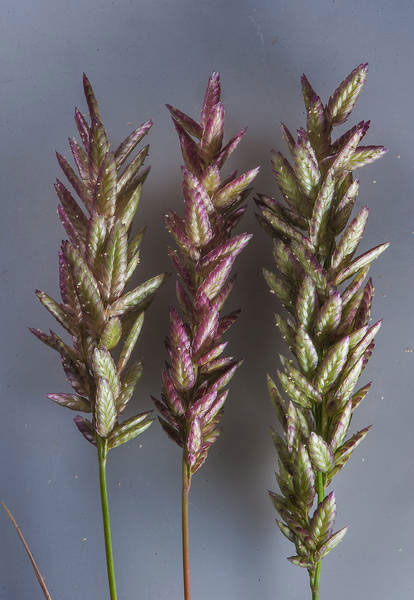 Spikes-of-Stinkgrass