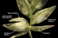 Closer-view-of-spikelets-of-Stinkgrass