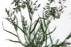 Plant-Illustration-of-Stinkgrass