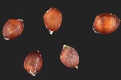Seeds-of-Stinkgrass