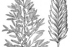 Sketch-of-Stinkgrass