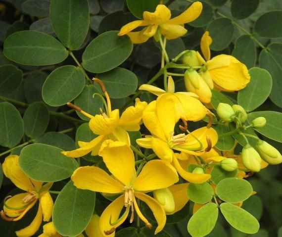 Flowers-of-Stinking-Cassia