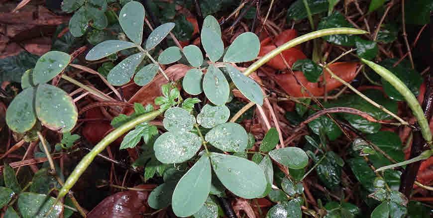 Immature-fruits-of-Stinking-Cassia