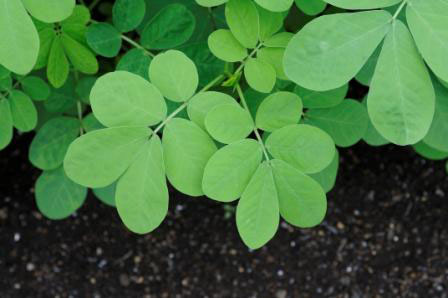 Leaves-of-Stinking-Cassia