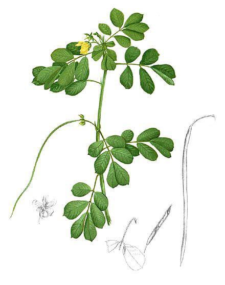 Plant-illustration-of-Stinking-Cassia