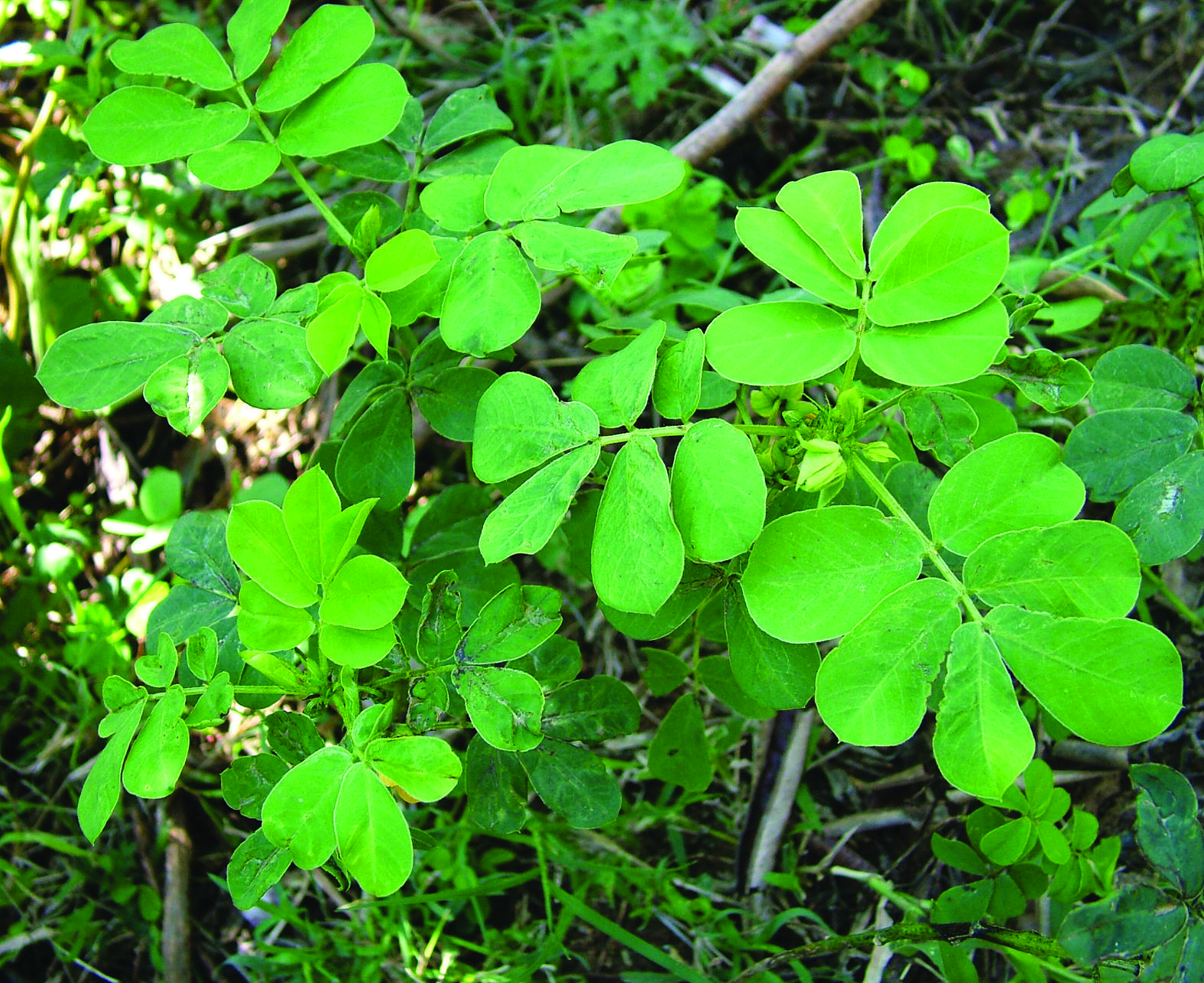 Stinking-Cassia-plant-growing-wild
