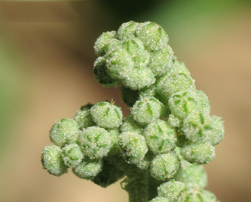 Flower-of-Stinking-Goosefoot-plant