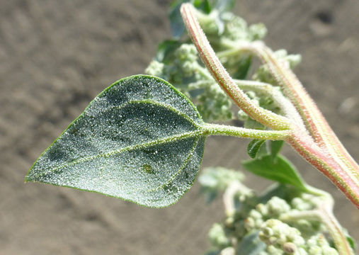 Leaf-and-Stem-of-Stinking-Goosefoot-plant