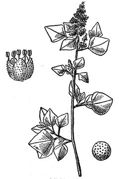 Sketch-of-Stinking-Goosefoot-plant
