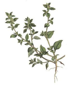 Stinking-Goosefoot-Plant-Illustration