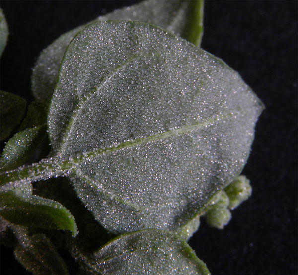 Ventral-view-of-Stinking-Goosefoot--Leaf