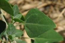 Leaves-of-Stinking-Goosefoot--plant