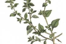 Stinking-Goosefoot-Plant-Illustration