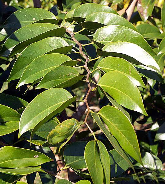 Leaves-of-Stinking-Toe-Fruit